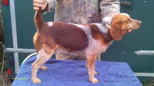 SCROGHAMS REDTICK MAJOR